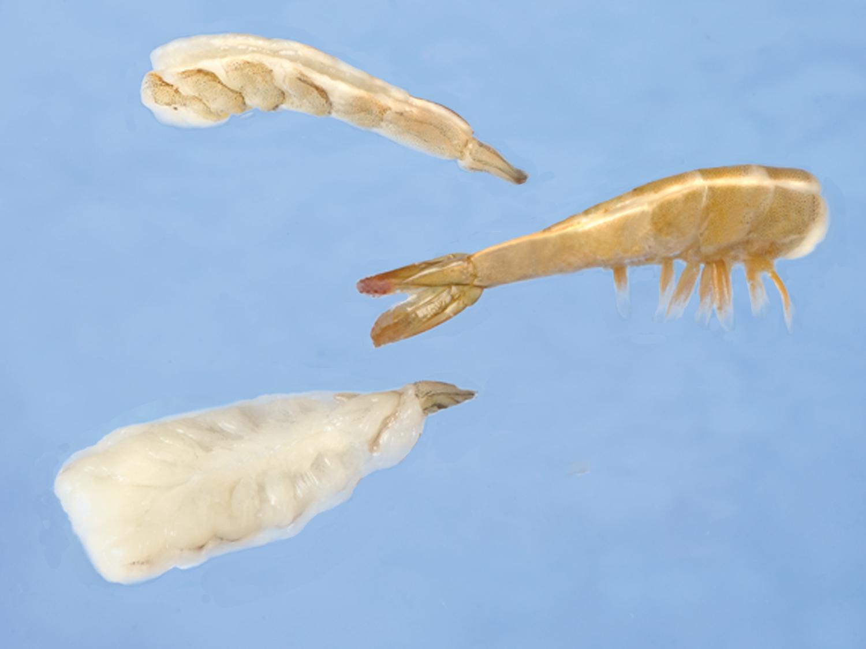model-64-shrimp