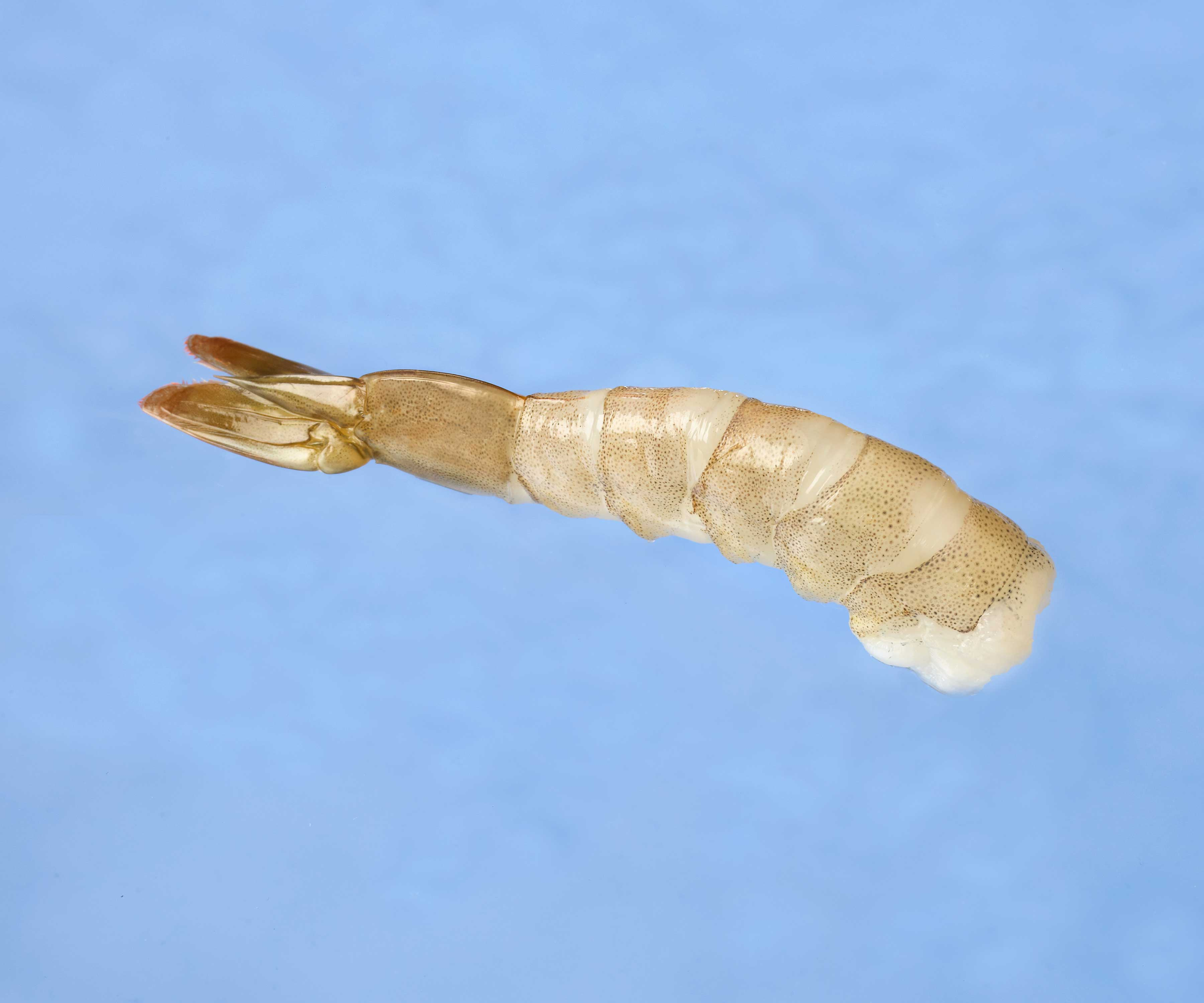 model-65-shrimp
